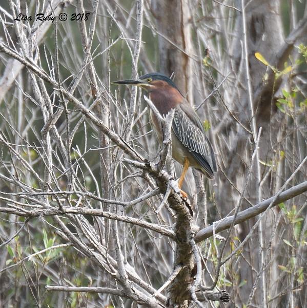 Green Heron  - 5/13/2018 - Flintkote Ave. Torrey Pines State Reserve