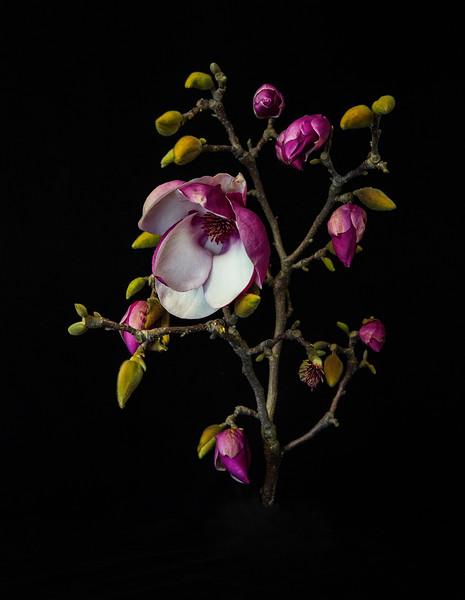 Magnolia.jpg