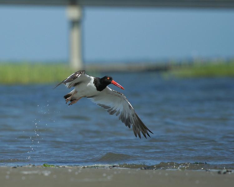An oystercatcher landing. Kayaking off Road K, Hampton Bays.