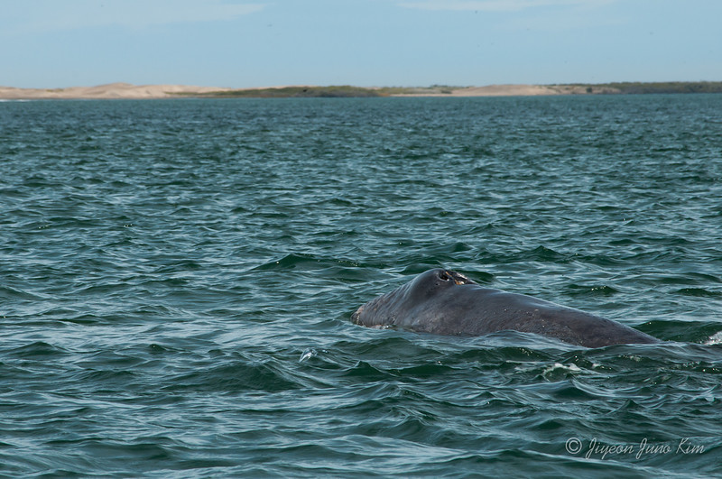 Mexico-Loreto-Whale-1882.jpg