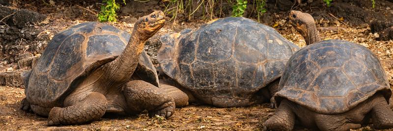 Galapagos Tortoise 2.jpg