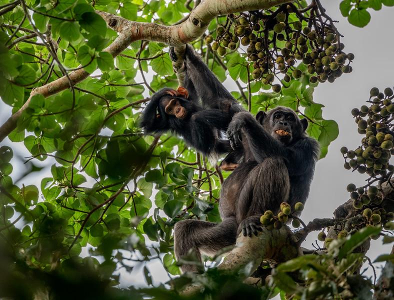 Uganda_T_Chimps-1274.jpg