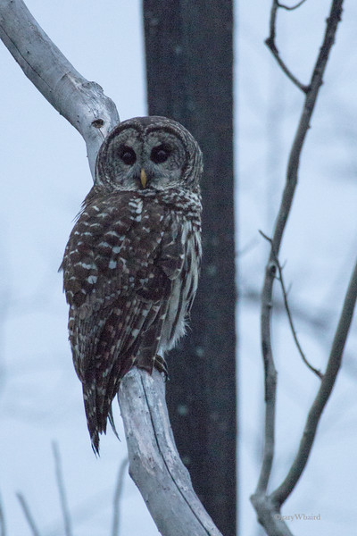 Barred Owl in Fog