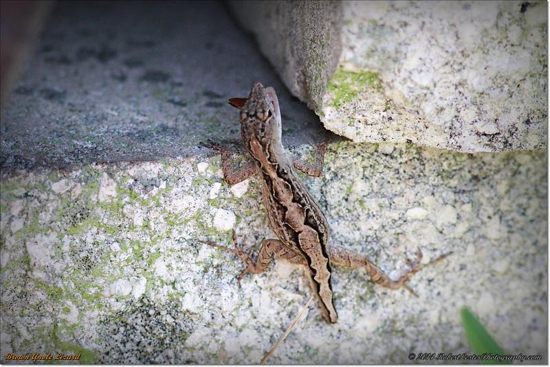 2014-06-09_IMG_1599_Brown Anole Lizard_.JPG