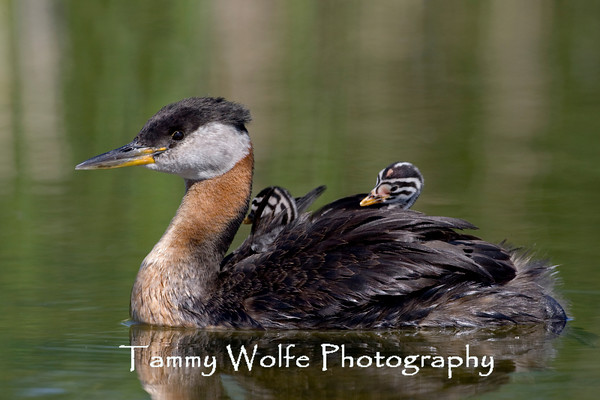 Grebe, Red-Necked