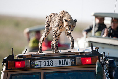 Cheetah s