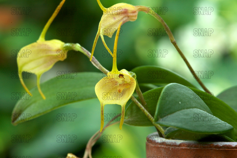 The Easy-Blooming Masdevallia (Masdevallia floribunda), was on exhibit at the White River Gardens in Indianapolis, IN.  The orchids were part of the Wheeler Orchid Collection at Ball State University in Muncie, IN.