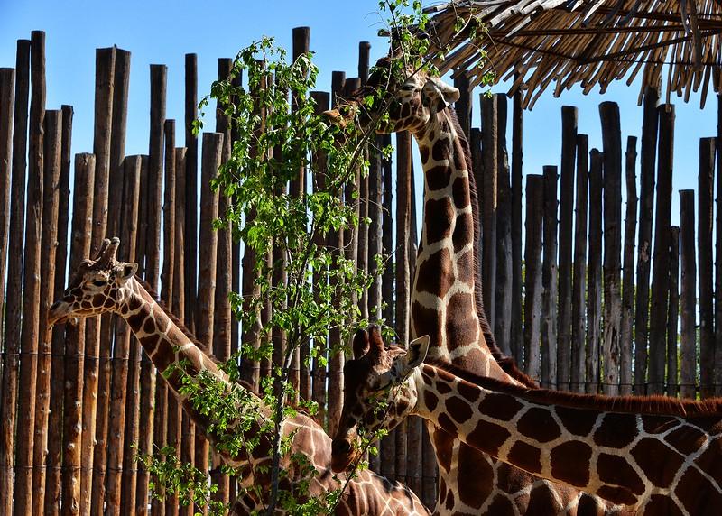 NEA_0732-7x5-Giraffe.jpg
