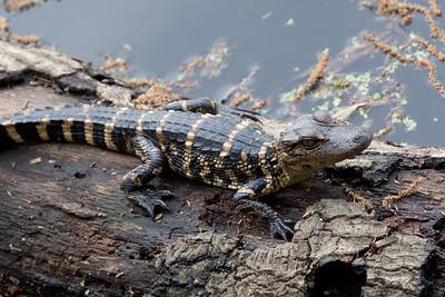 untitled20110202_AlligatorBaby MyakkaLakeFL_7I2B4334_11-02-02