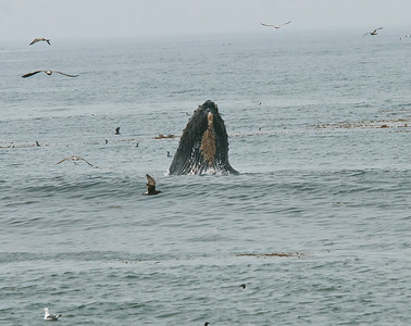 Humpback whales   August 2015