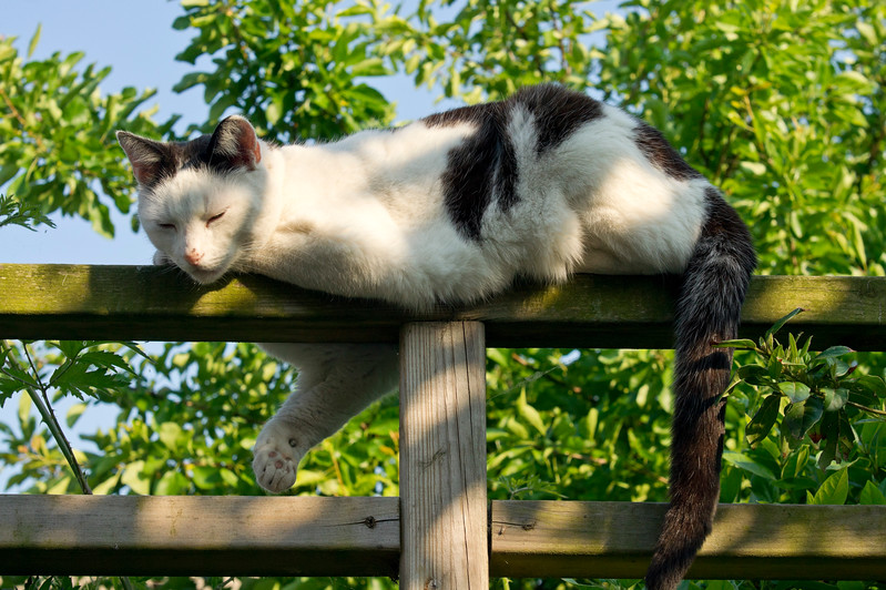 Black and White cat on a fence