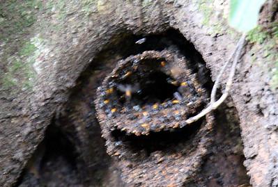 Stingless Wasp