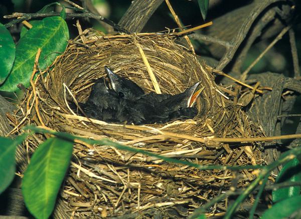 שחרור - Common Blackbird Nesting (Turdus merula)