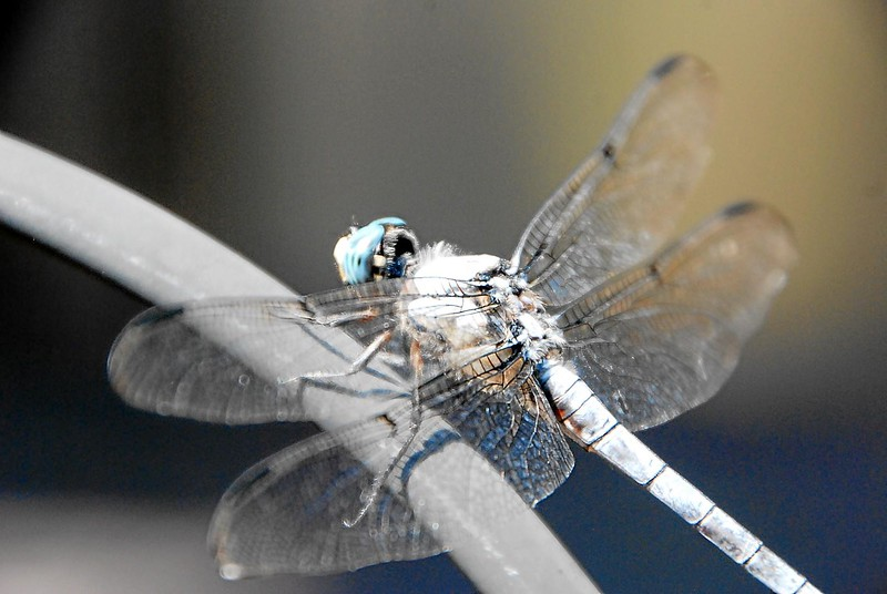 Dragon_fly_04.jpg
