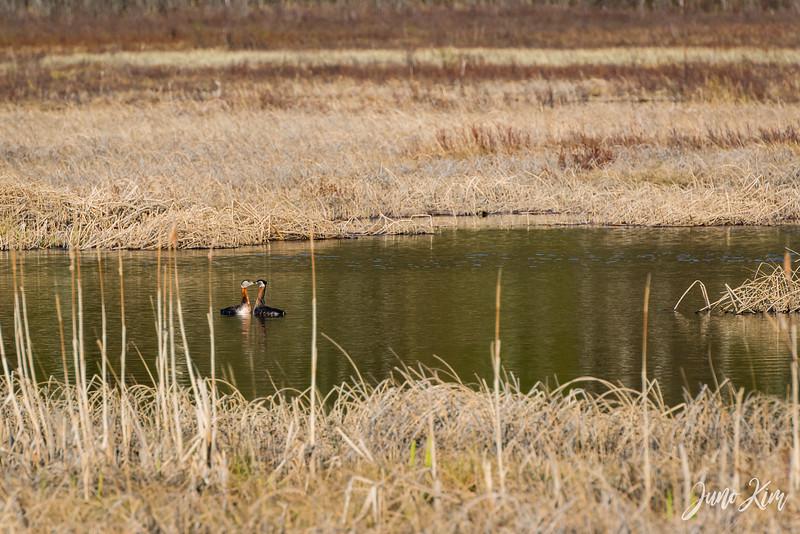 2020-05-12_Potter Marsh bird-_6109538-Juno Kim.jpg