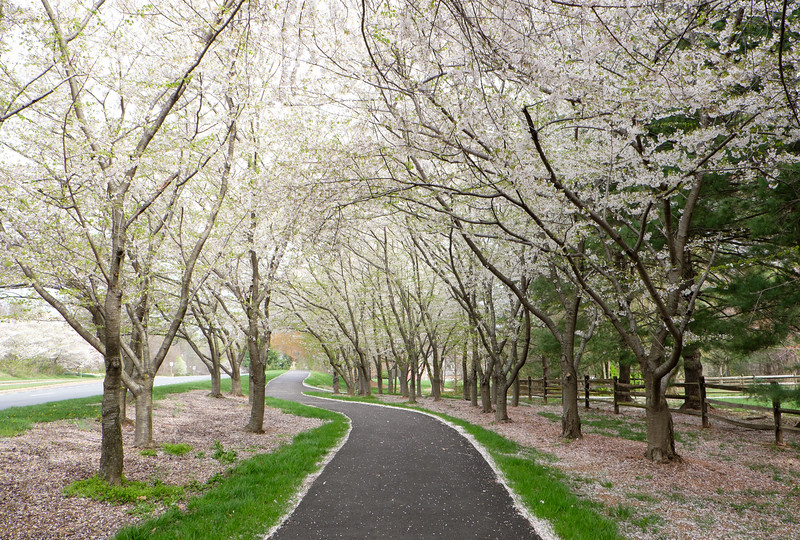 20160331 029 cherry blossoms-2.jpg