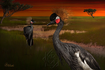 Black Crown Crane