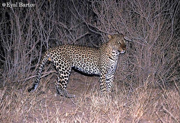 Leopard at night 1.jpg