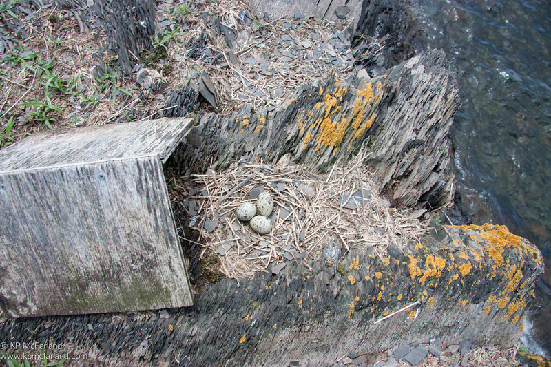 Common Tern nest with nest hut slid away