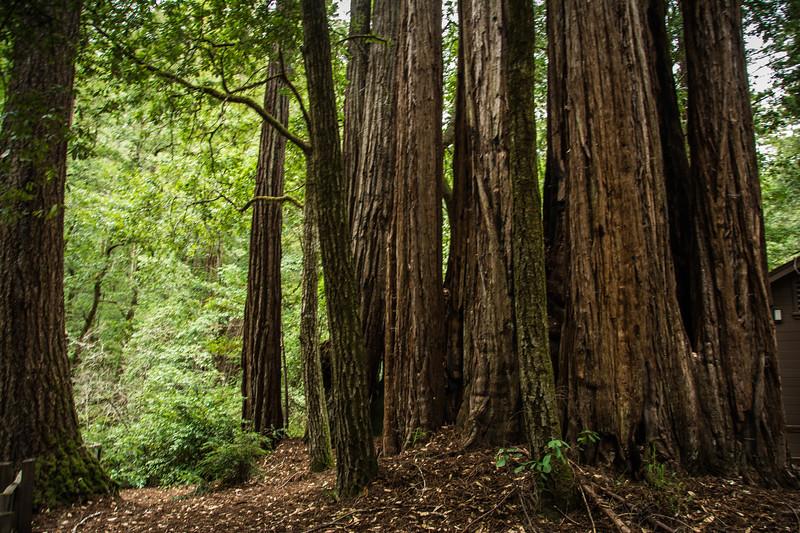 Redwood-2.jpg