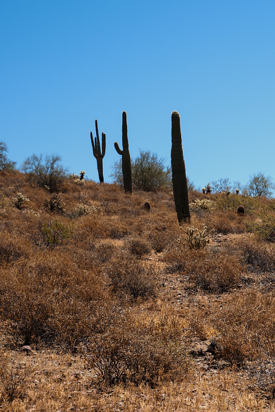 Saguaros on the Apache Wash trail of the Phoenix Sonoran Preserve