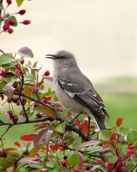 mockingbird_3225.jpg