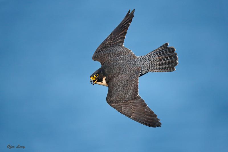 Peregrine Falcon 2.jpg