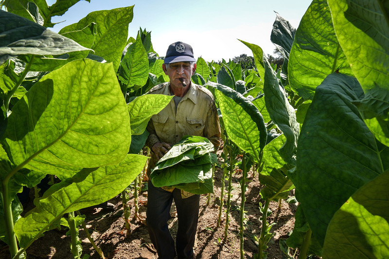 . Cuban workers harvest tobacco leaves, on February 25, 2014 in a plantation, on February 25, 2014 in the San Juan y Martinez municipality, Pinar del Rio province, Cuba. The production of Cuban cigars experienced an 8% growth in 2013 adding 447 million dollars to the Cuban economy. The XVI Havana Cigar Festival is running in Cuba with the presentation of the best Cuban cigars.    (ALBERTO ROQUE/AFP/Getty Images)