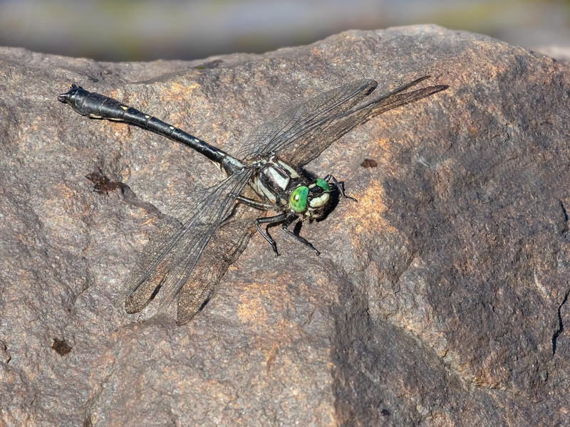 Mustached Clubtail (Hylogomphus adelphus), male
