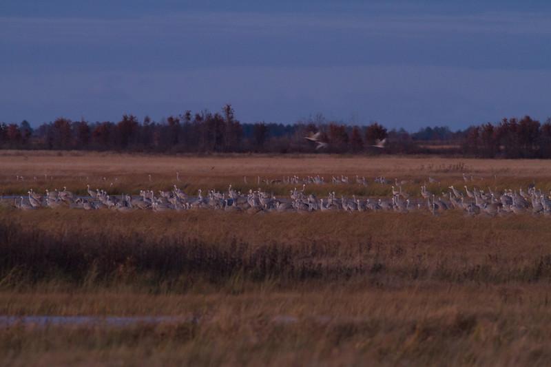 Sandhill Crane flock roosting at dusk Crex Meadows Grantsburg WI IMG_2315.jpg