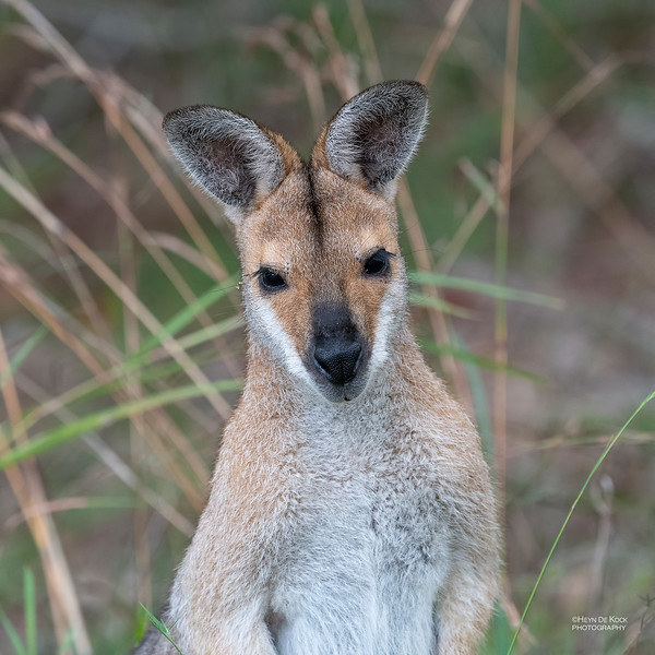 Red-necked Wallaby, Nerang, QLD, Jul 2019-3.jpg