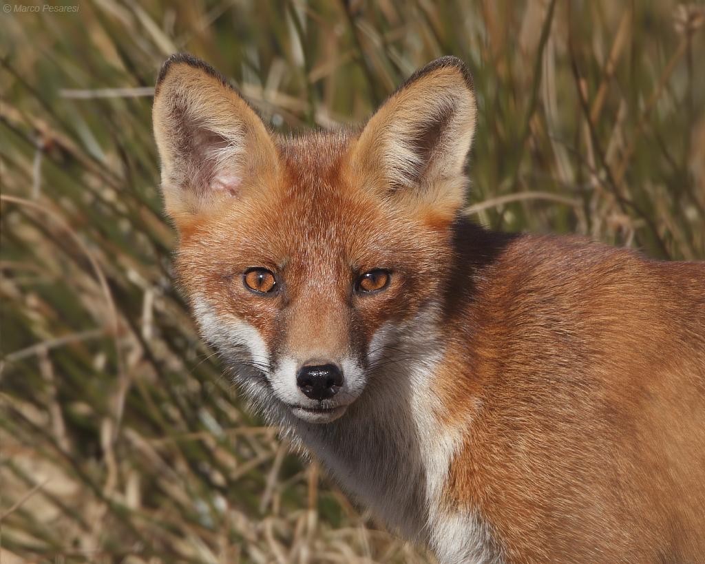 14. Red Fox