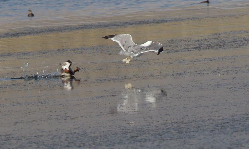 Eared Grebe California Gull  Crowley Lake 2013 0721 (2 of 4)-2.CR2