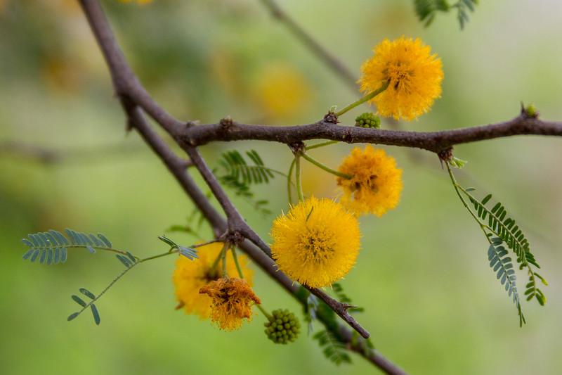 Leucaena retusa - Goldenball Leadtree