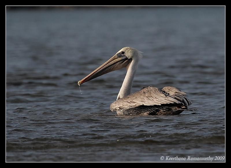 Brown Pelican, Robb Field, San Diego River, San Diego County, California, September 2009