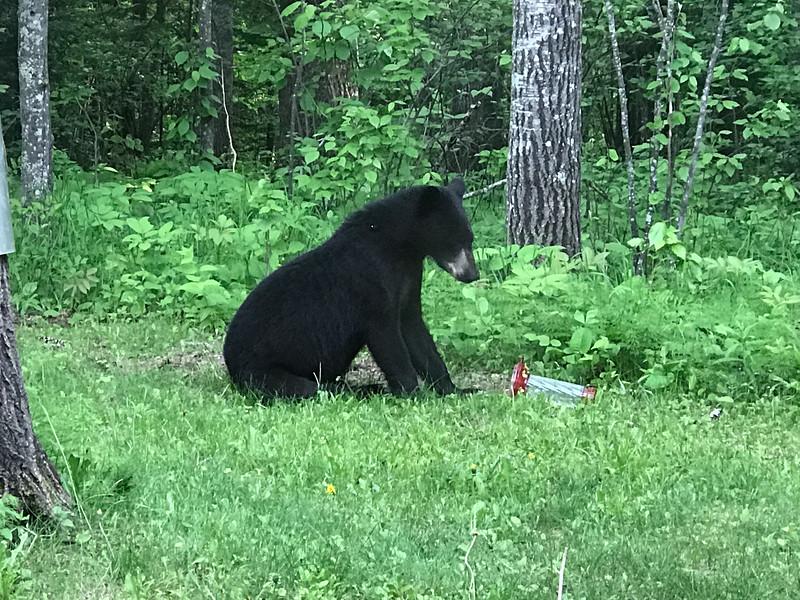 Black Bear at Skogstjarna Carlton County MNIMG_5613.jpg