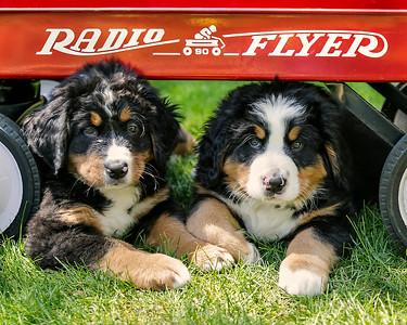 Wajer Family 2017 Pups