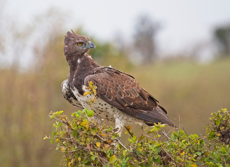 Martial Eagle, Naboisho Conservancy