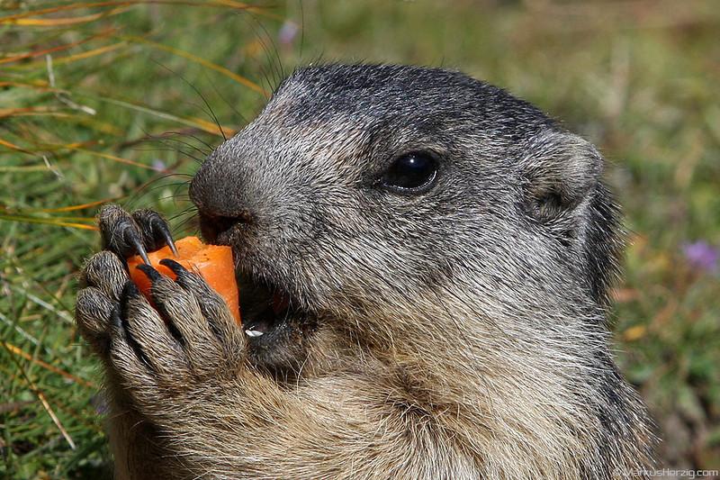 Hungry young marmot @ Saas-Fee Switzerland 23Aug09