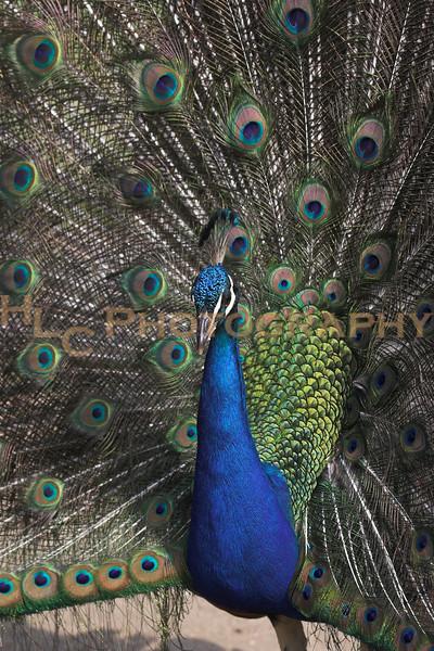 062407 Arboretum, Pasadena, CA - Birds and reptiles