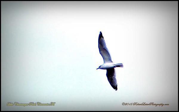 Herring Gull  (Larus)