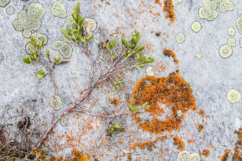 Lichens on rock Hudson Bay Churchill Manitoba Canada IMG_0775.jpg