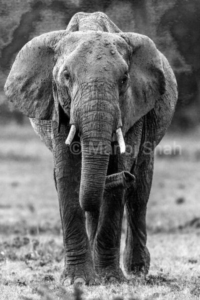 African elephant emerging from the forest in Masai Mara early morning.