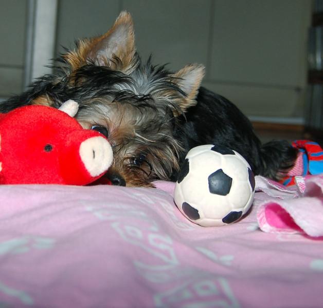 023 Yorkshire Terrier at 15 weeks.jpg