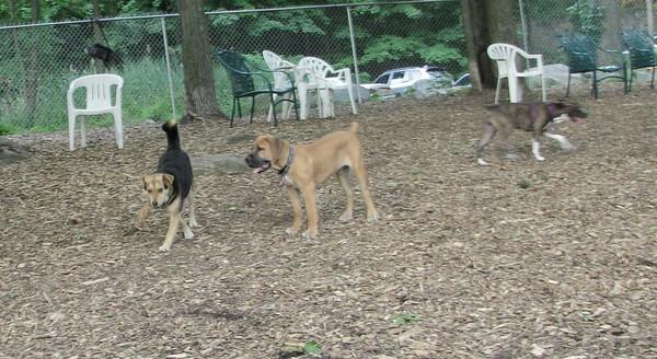 PICS JUNE 12::BRODY (african mastiff pup)