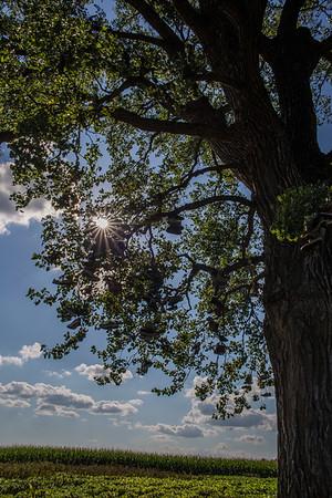Mt Vernon Shoe Tree