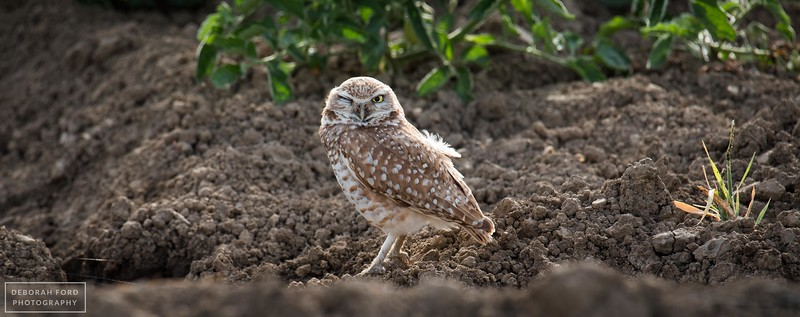 Burrowing Owls (2016)