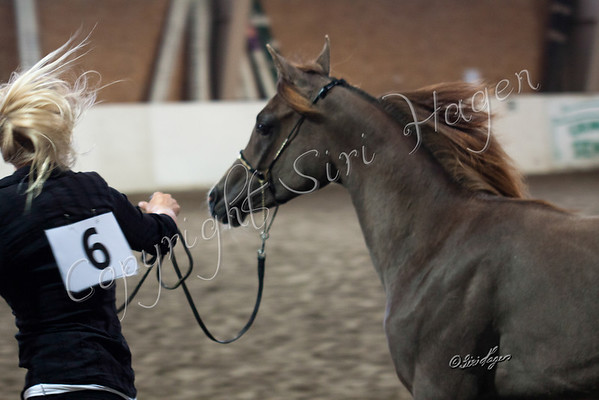Colts, Stallions and geldings