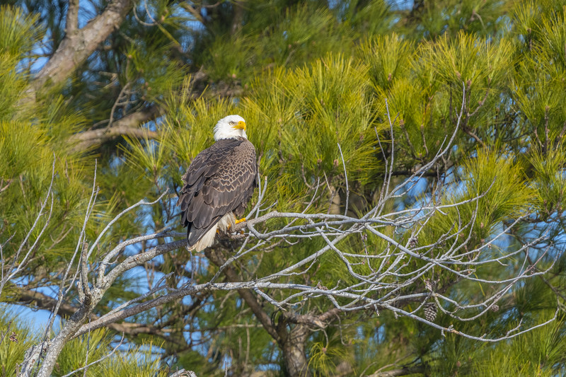 Bald Eagle in Pine Tree.jpg