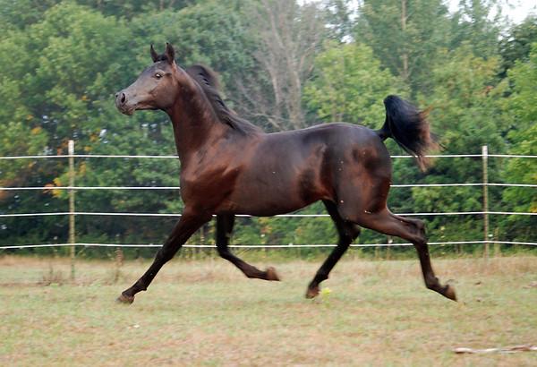 My friend Jim Tesch's Arabian 2 year old stallion.